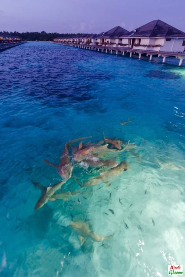 Maldives Shark Feeding at Sun Island resort