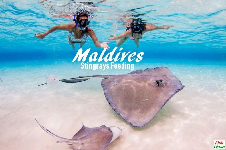 Maldives Stingrays Feeding