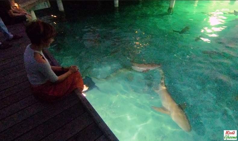 Shark feeding at Sun Island resort spa in Maldives