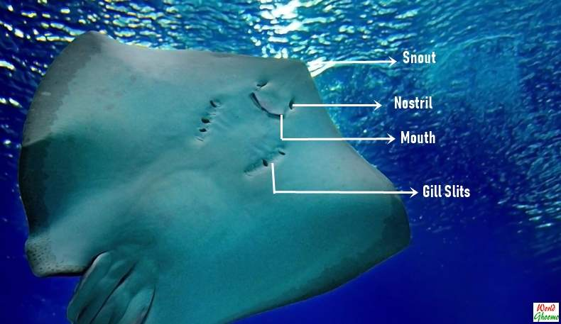 Stingray anatomy under belly mouth gills
