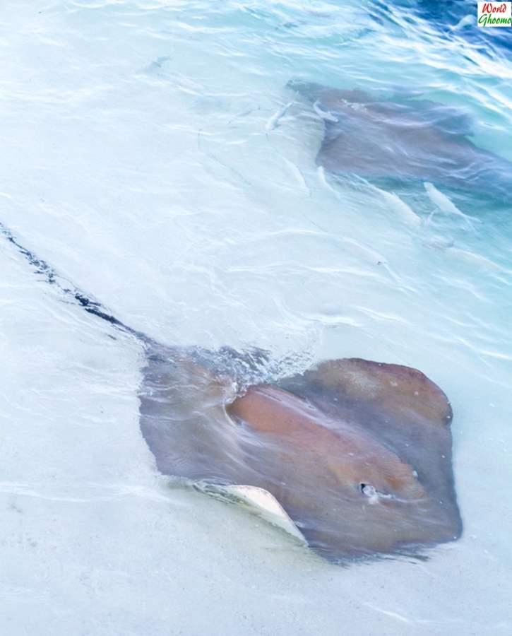 Stingrays feeding sun island and resort Maldives