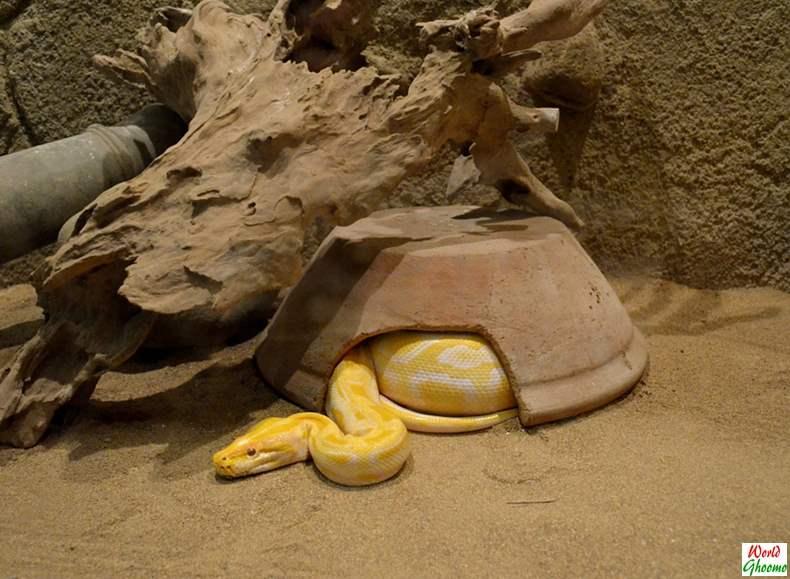 Bali Reptile Park yellow snake