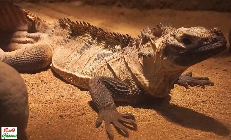 Indonesia Lizard at Bali Reptile Park