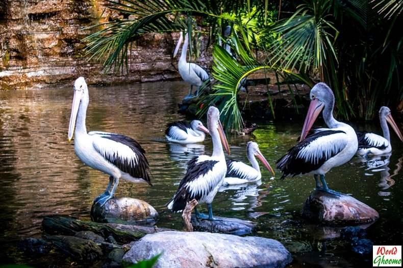 Pelicans Bali Bird Park