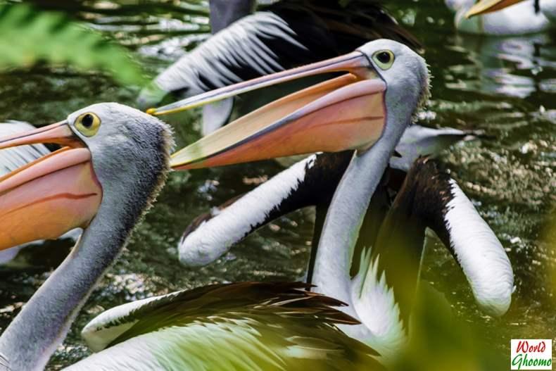 Pelicans at Bali Bird Park
