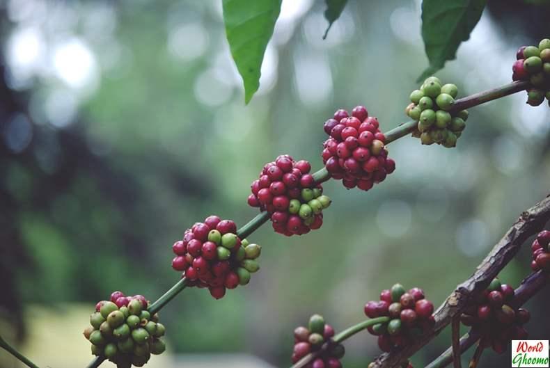 Wayanad Coffee Plantation