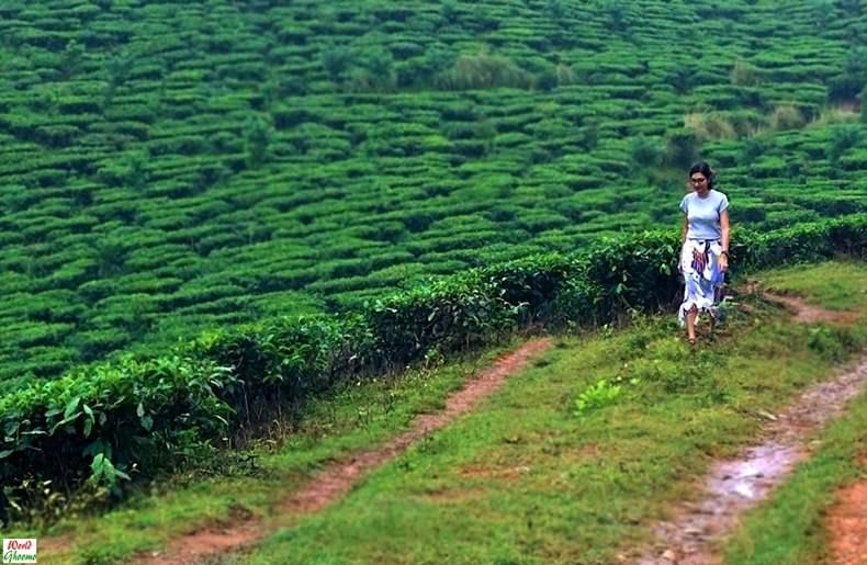 Wayanad Tea Estate