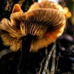 Meghalaya Glowing Mushrooms