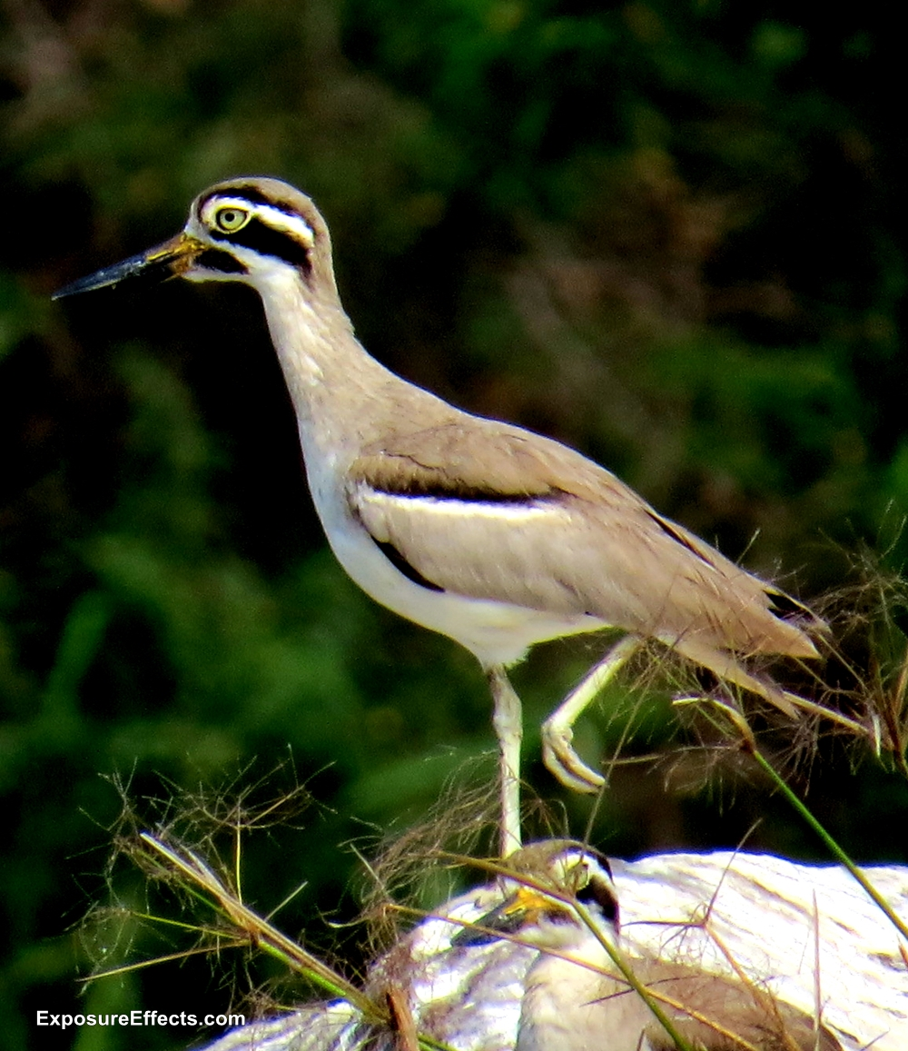 Great Stone-curlew Birds at Ranganthittu Bird Sanctuary Karnataka